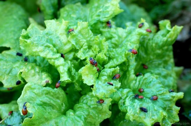 Keeping Pests Away Using Ladybugs In The Garden crawling around