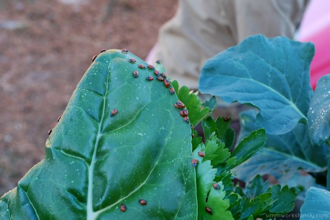 Keeping Pests Away Using Ladybugs In The Garden spreading out