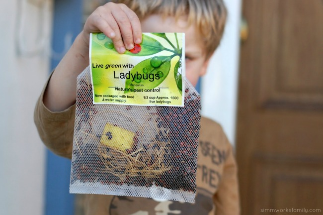 Keeping Pests Away Using Ladybugs In The Garden