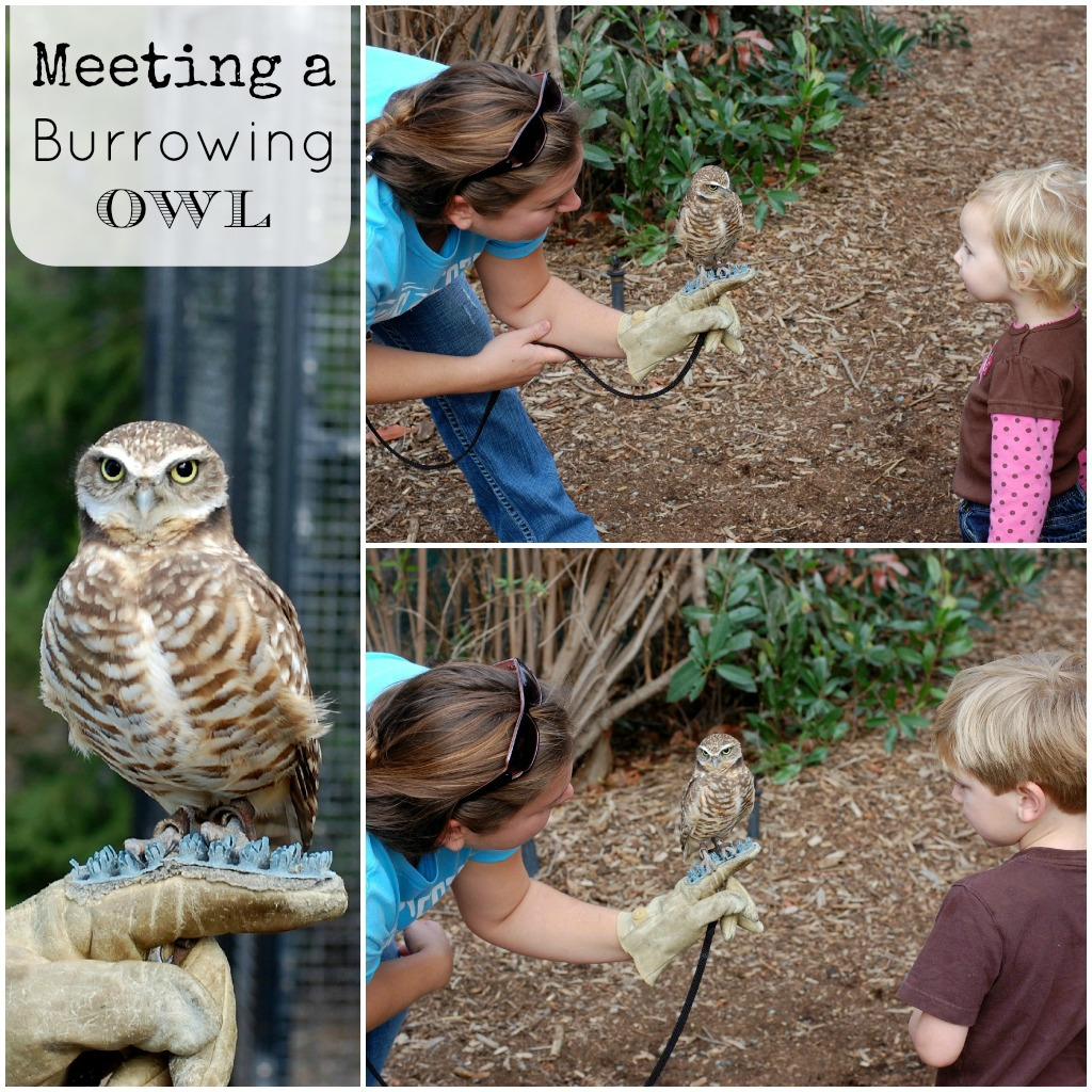 Living Coast Discovery Center San Diego Burrowing Owls