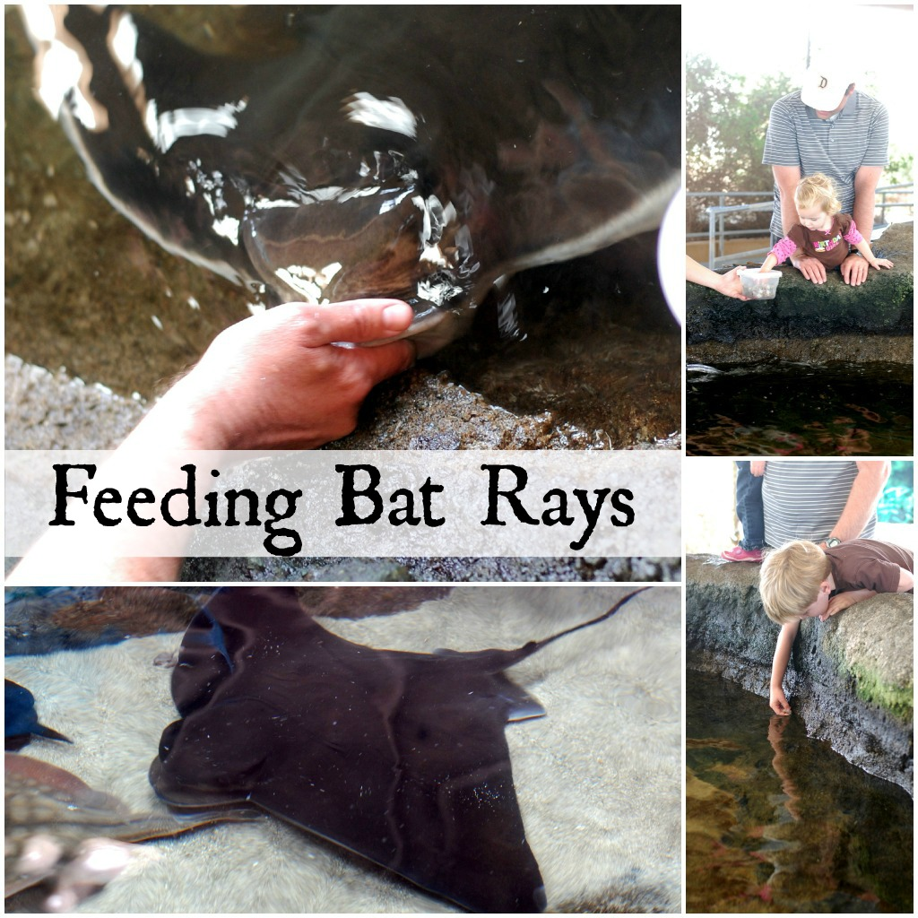 Feeding Bat Rays at the Living Coast Discovery Center