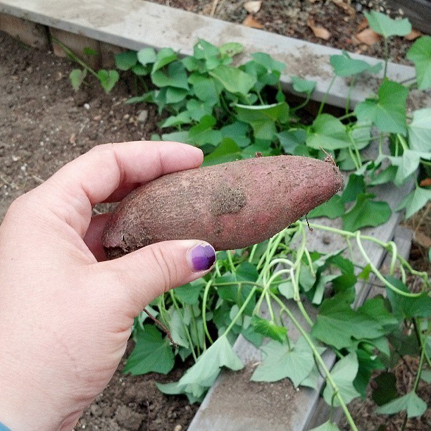 Sweet Potato in the garden