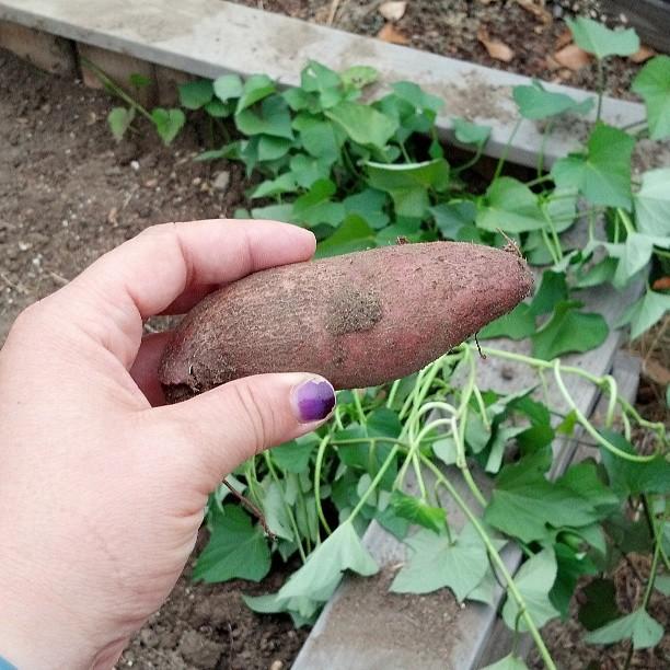Sweet Potato in the garden
