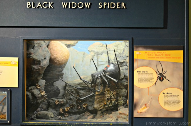 Black Widow Spider display Boston Museum of Science