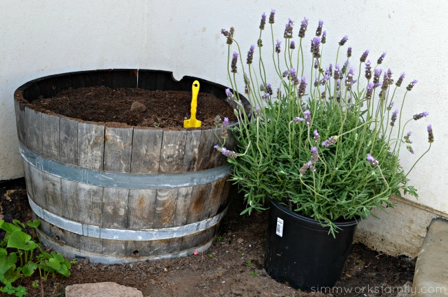 Gardening with Kids lavender plant