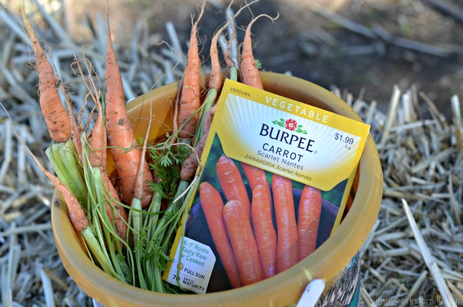 How to Grow Carrots with Kids picked