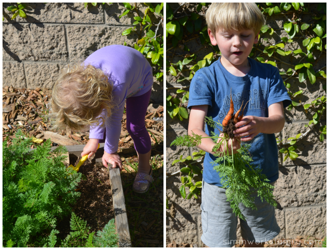 How to Grow Carrots with Kids picking carrots