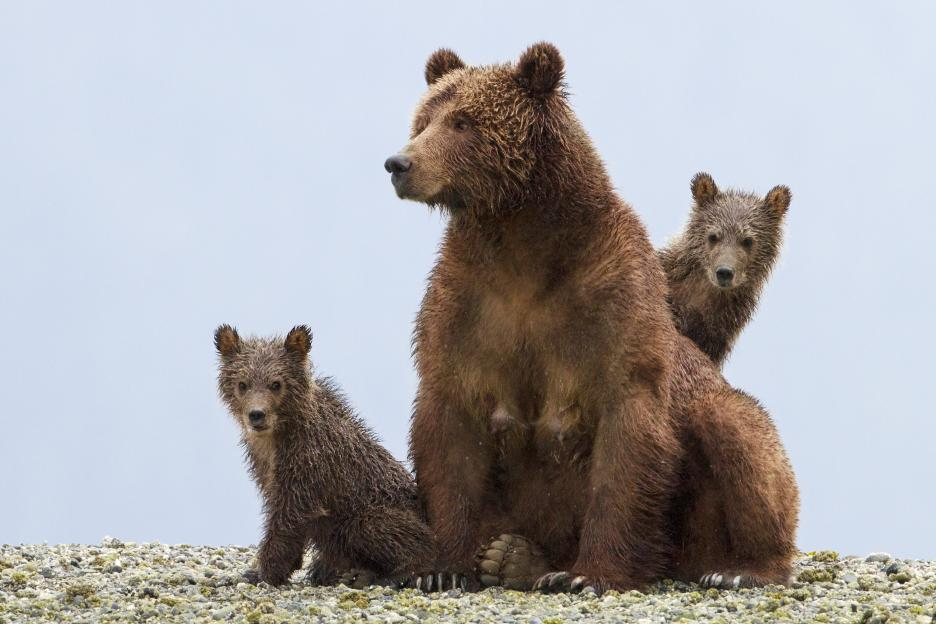 Disneynature Bears cubs with mama