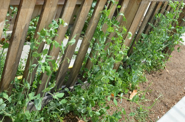 Growing Snap Peas from Seed - full grown producing plants