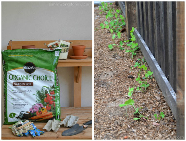 Growing Snap Peas from Seed with Miracle Gro