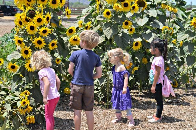 Suzie's Farm sunflowers