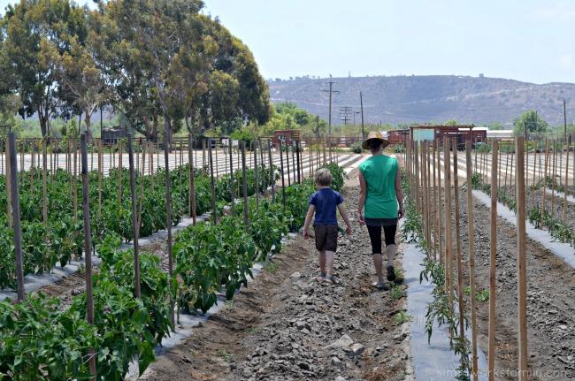 Suzie's Farm walking through the tomato plants