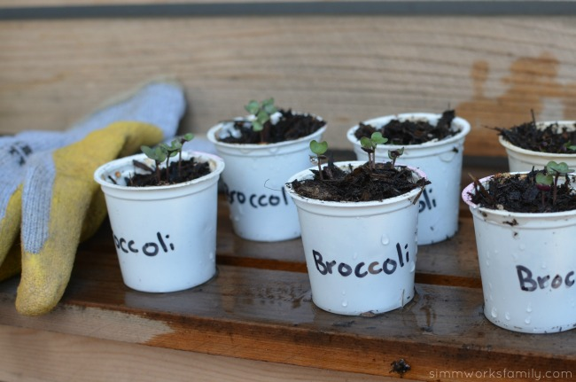 Upcycled Container Gardens - growing seedlings